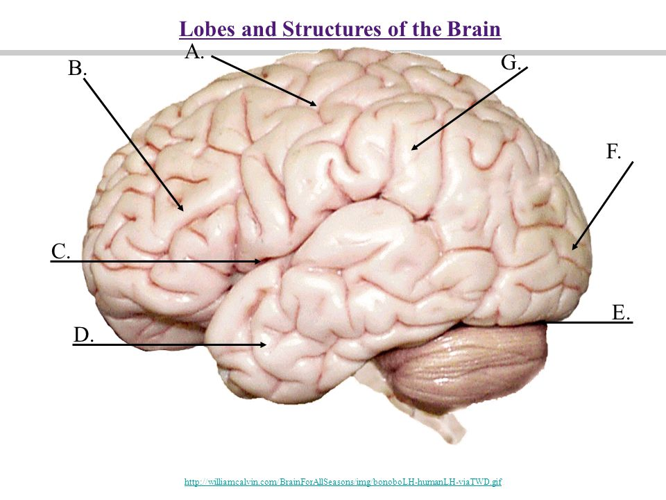 Lobes and Structures of the Brain A. G. B.