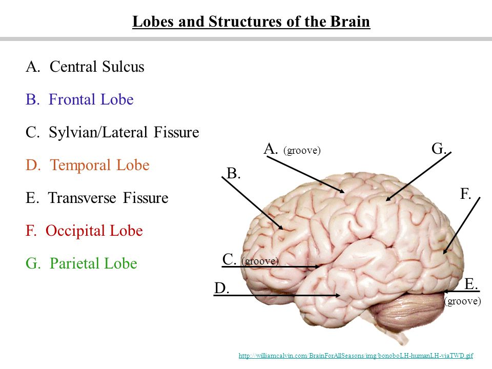 Lobes and Structures of the Brain