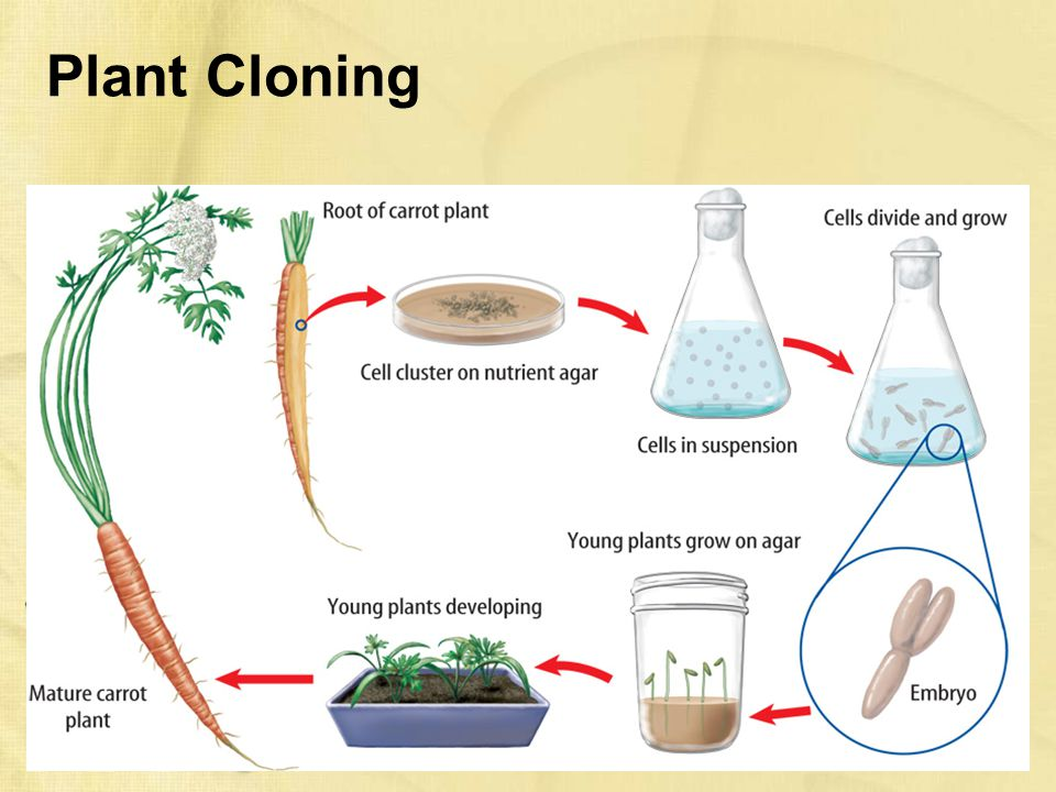 cloning in plants and animals (d) discuss the advantages and disadvantages of plant cloning in agriculture ( hsw6a, 6b, 7c) (e) describe how artificial clones of animals.