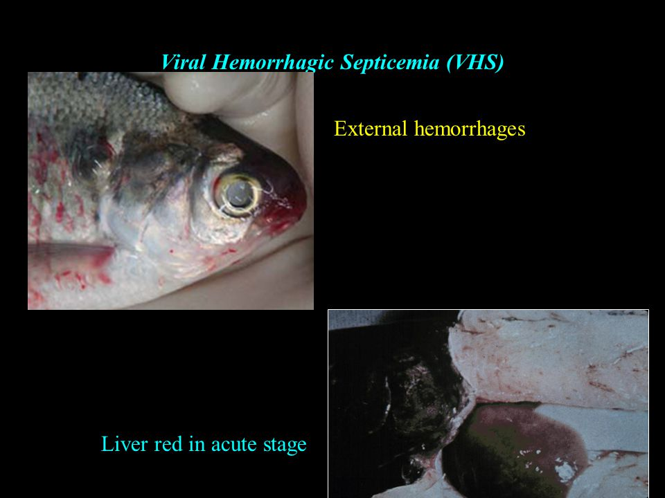 Aquaculture viruses ppt video online download for Septicemia in fish