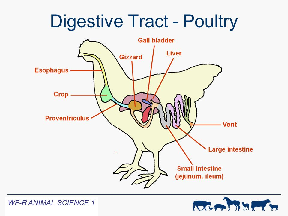 Digestive physiology of farm animals ppt video online download 31 digestive tract poultry ccuart Choice Image