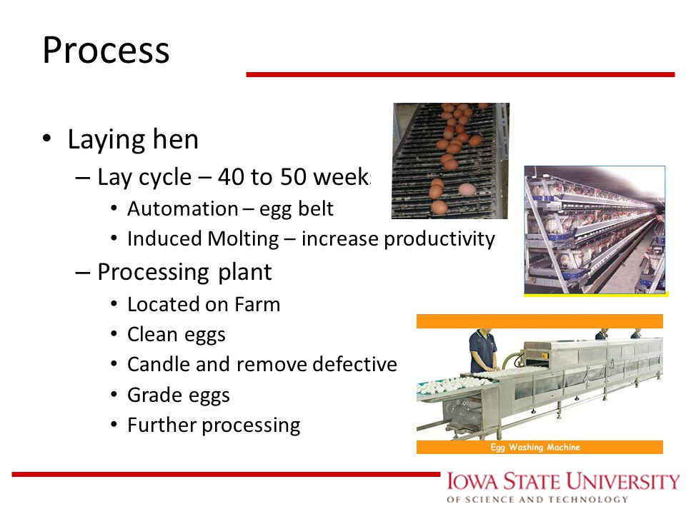 Chickens Laying Cycle Related Keywords & Suggestions