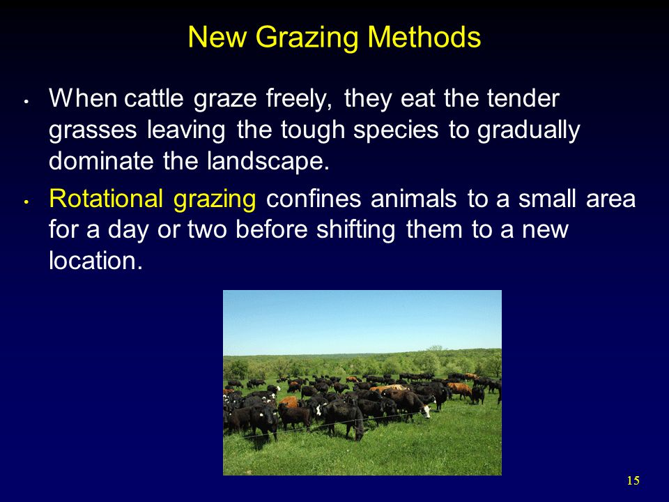New Grazing Methods When cattle graze freely, they eat the tender grasses leaving the tough species to gradually dominate the landscape.