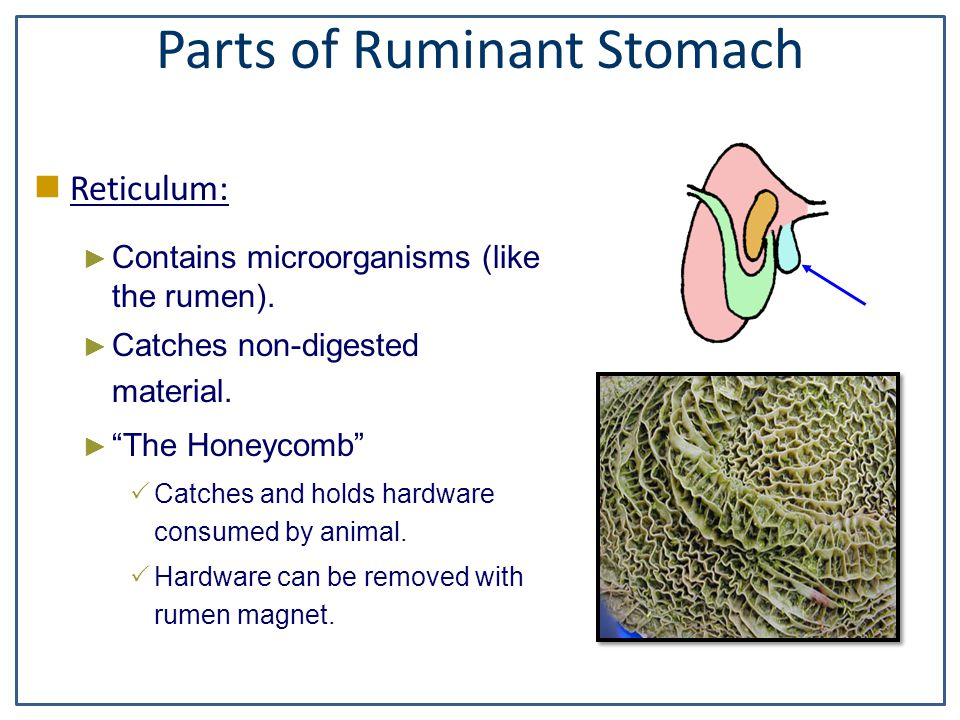"ruminant digestive The animal digestion – a stomach at work lesson is designed to teach young people about animal digestion refer to the ""basics of the ruminant digestive."