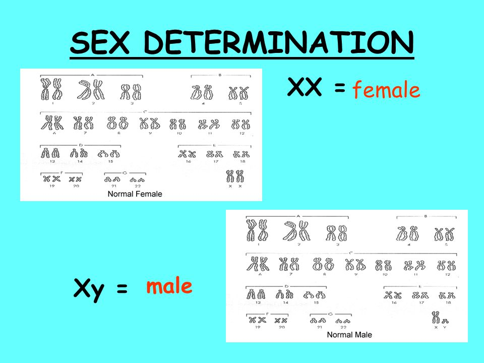 SEX DETERMINATION XX = female Xy = male
