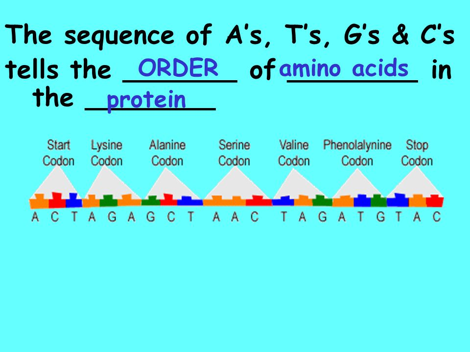 The sequence of A's, T's, G's & C's