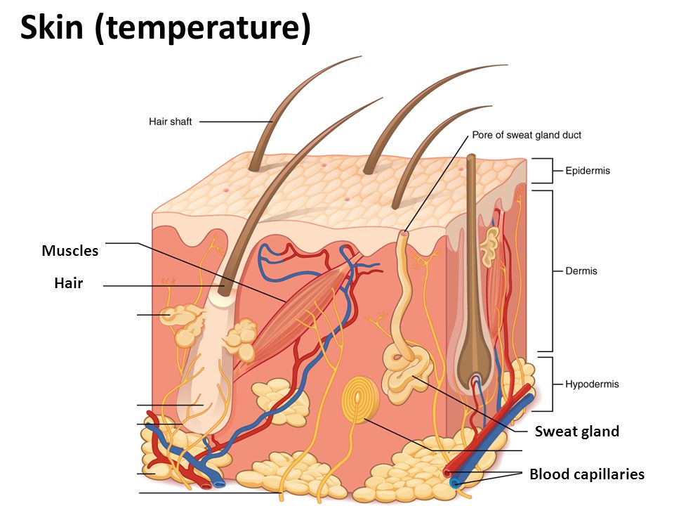 Old Fashioned Blood Capillaries Elaboration - Anatomy And Physiology ...