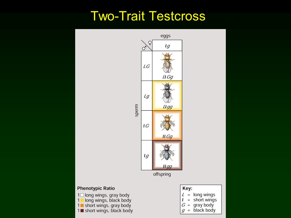 Two-Trait Testcross Mader: Biology 8th Ed.