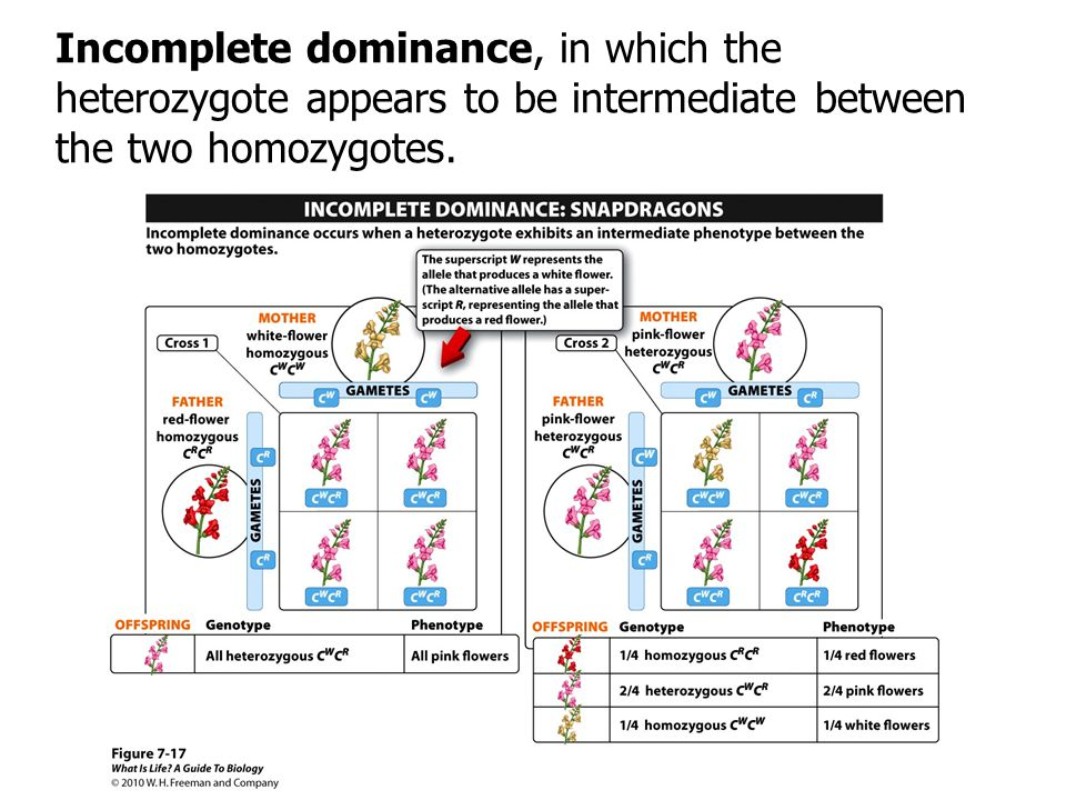 Incomplete dominance, in which the heterozygote appears to be intermediate between the two homozygotes.
