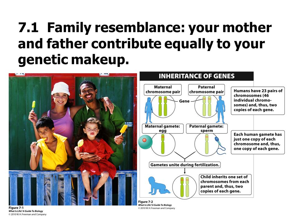 7.1 Family resemblance: your mother and father contribute equally to your genetic makeup.