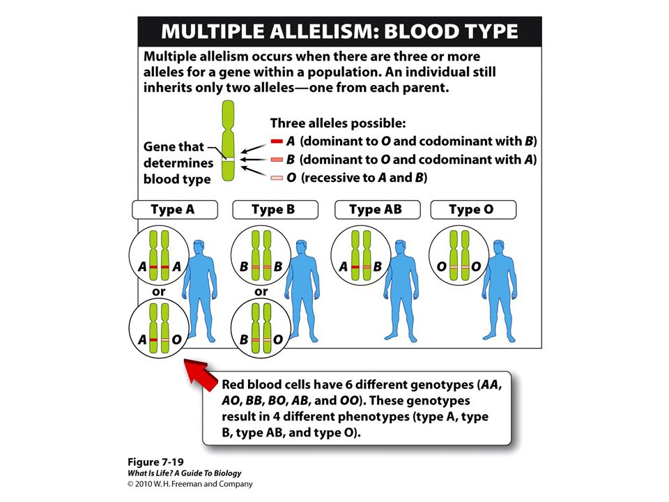Consequently, with these three alleles in the population, individuals can be one of four different blood types: A, B, AB, and O.