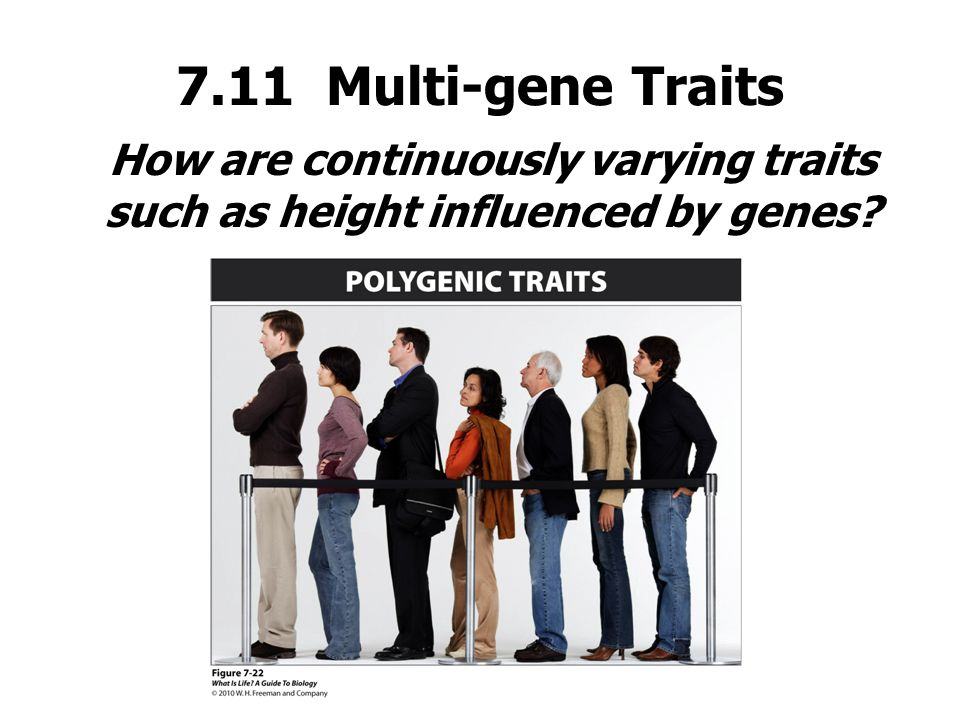 7.11 Multi-gene Traits How are continuously varying traits such as height influenced by genes