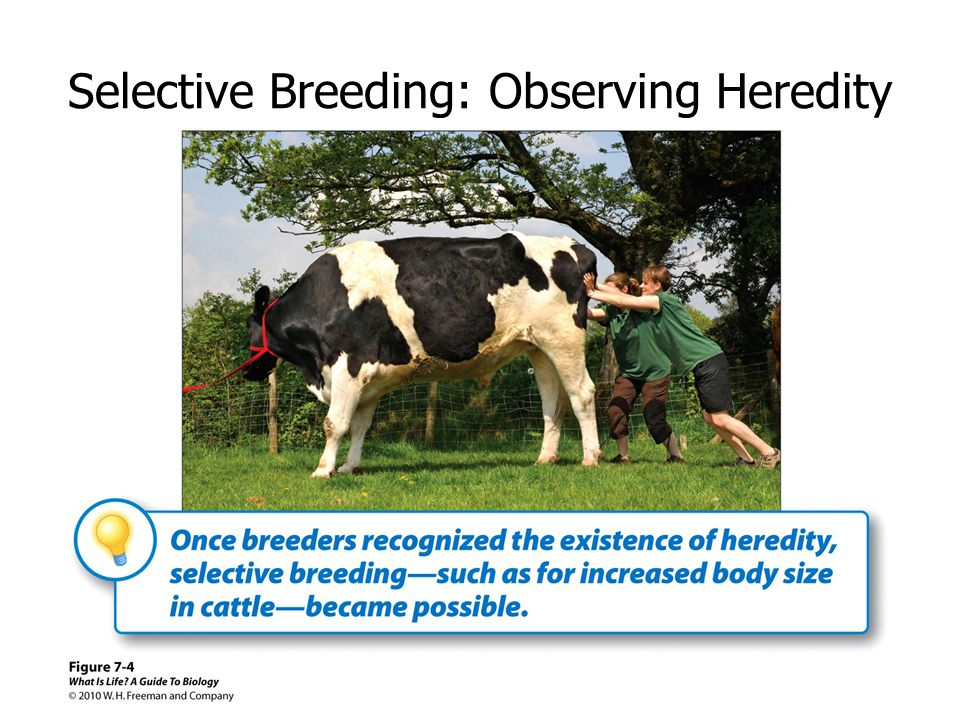 Selective Breeding: Observing Heredity