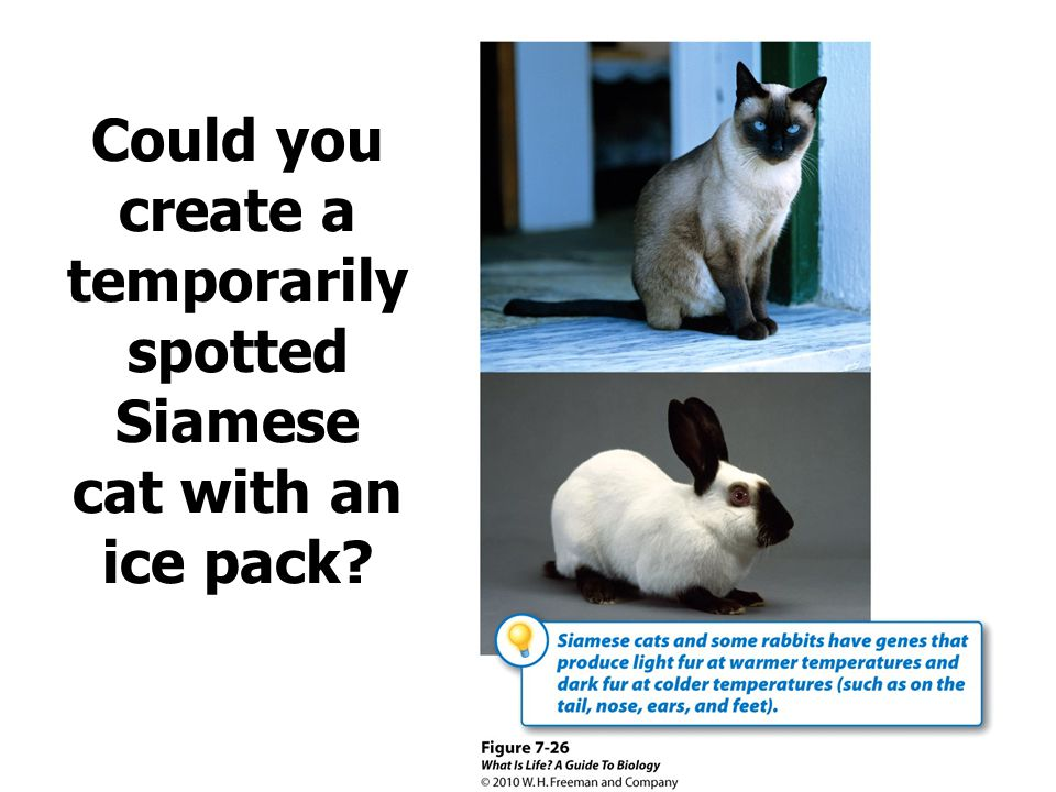 Could you create a temporarily spotted Siamese cat with an ice pack