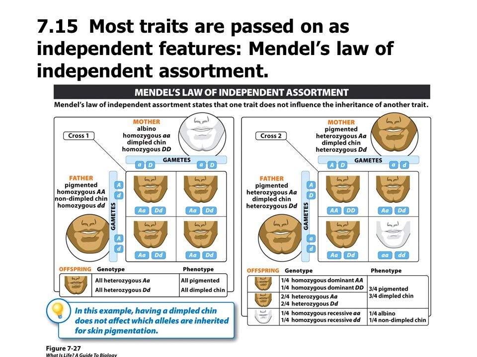 7.15 Most traits are passed on as independent features: Mendel's law of independent assortment.