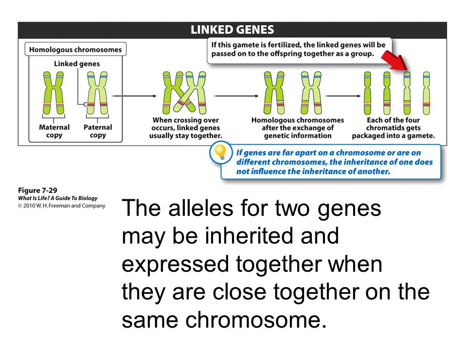 The alleles for two genes may be inherited and expressed together when they are close together on the same chromosome.