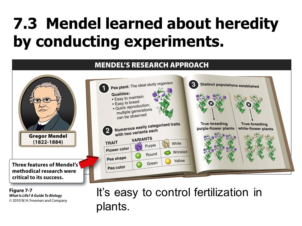 7.3 Mendel learned about heredity by conducting experiments.