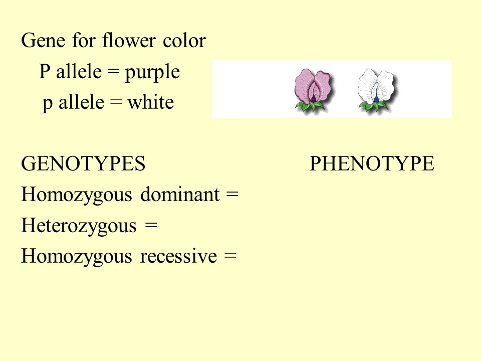1 allele and dominant phenotype This observation suggests that two genes may control the phenotype  only one dominant allele at either  this type of interaction is called dominant epistasis.