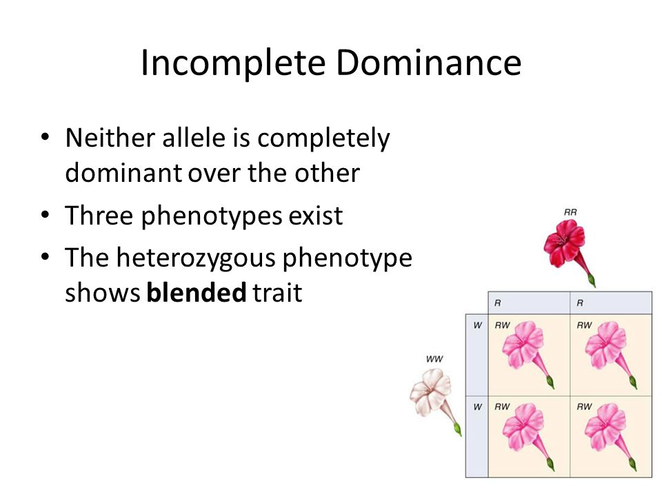 Incomplete Dominance Neither allele is completely dominant over the other. Three phenotypes exist.