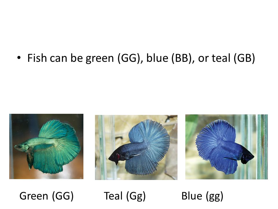 Fish can be green (GG), blue (BB), or teal (GB)