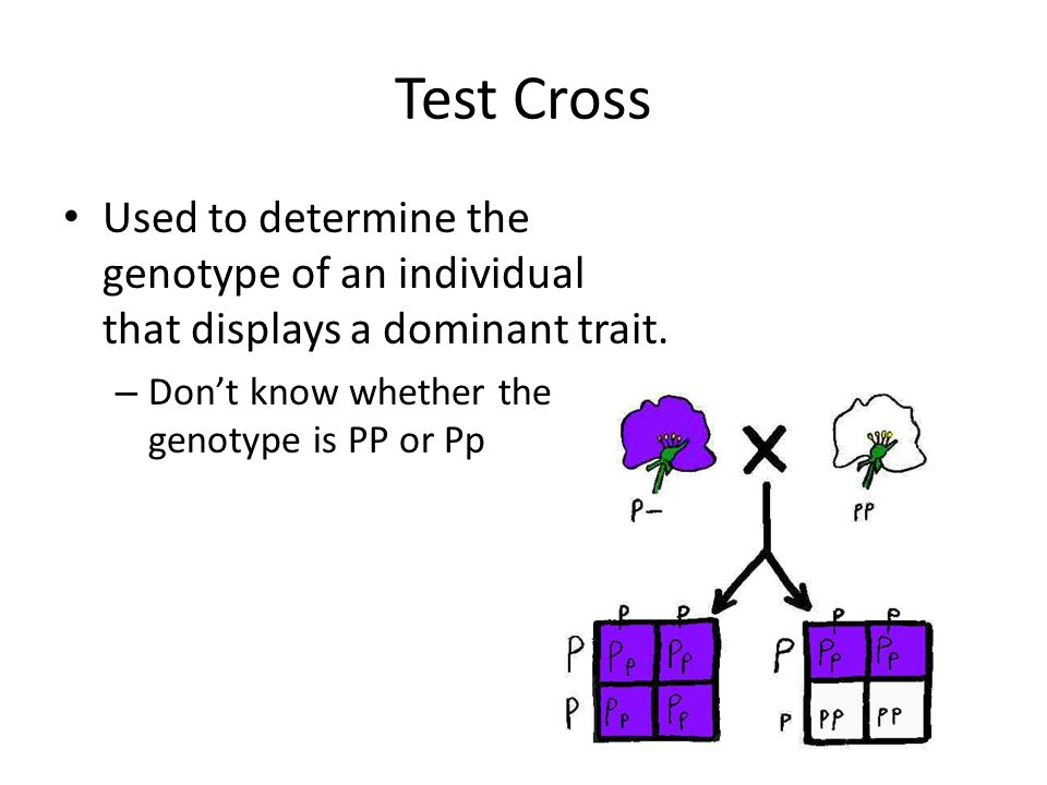 Test Cross Used to determine the genotype of an individual that displays a dominant trait.
