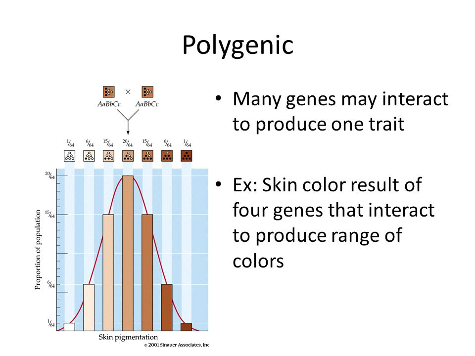 Polygenic Many genes may interact to produce one trait