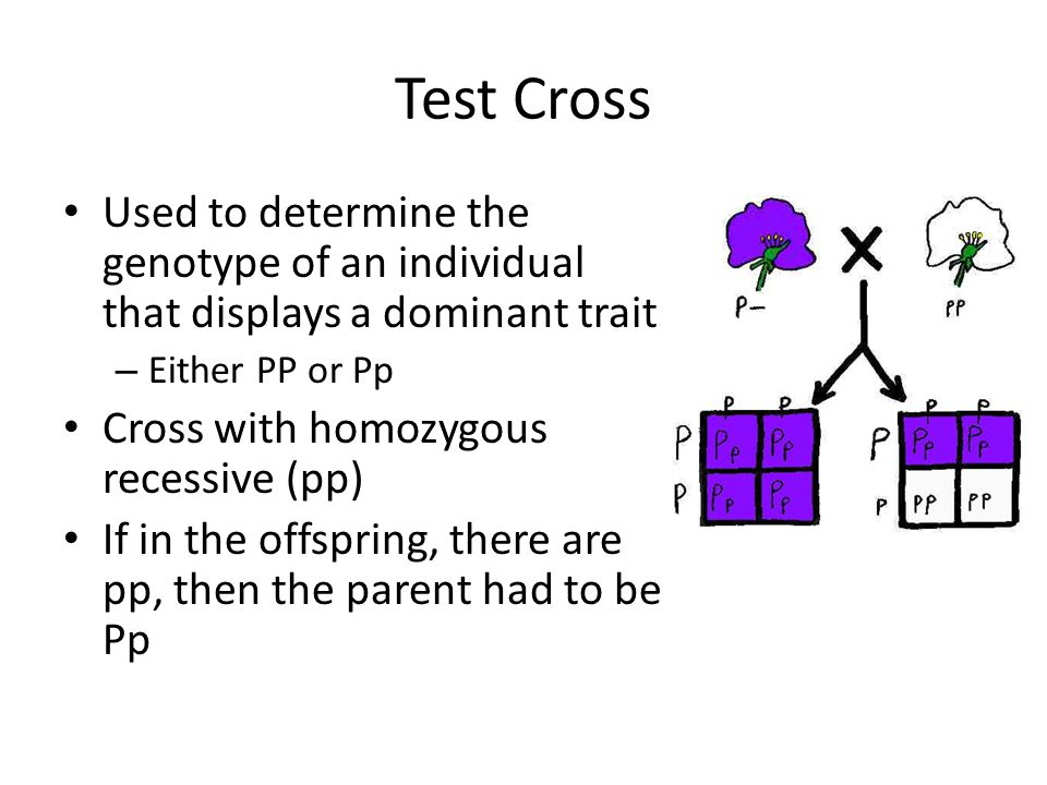 Test Cross Used to determine the genotype of an individual that displays a dominant trait. Either PP or Pp.