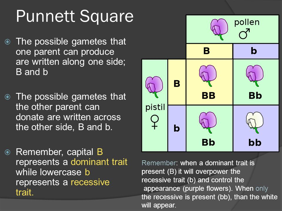 Punnett Square The possible gametes that one parent can produce are written along one side; B and b.