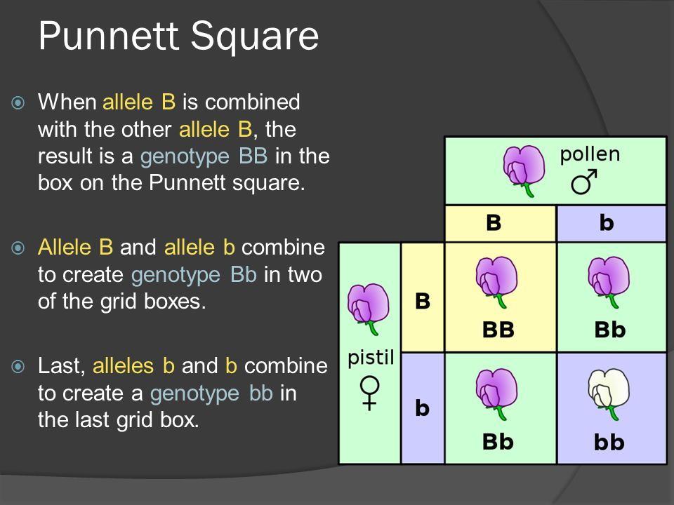 Punnett Square When allele B is combined with the other allele B, the result is a genotype BB in the box on the Punnett square.