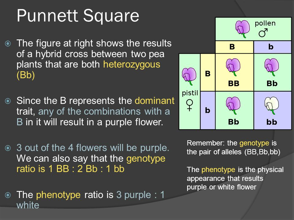 Punnett Square The figure at right shows the results of a hybrid cross between two pea plants that are both heterozygous (Bb)