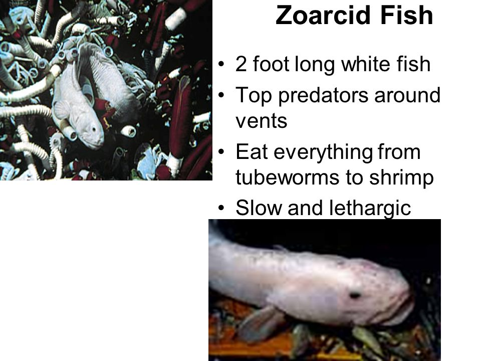 Hydrothermal vents ppt video online download for Best white fish to eat
