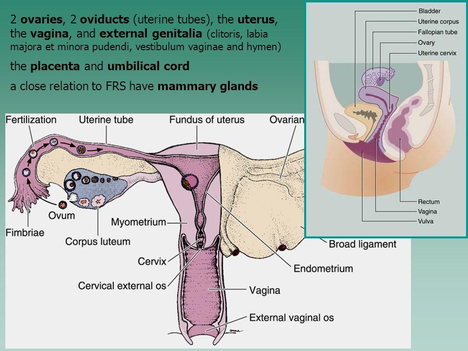 Fantastisch Female Anatomy Hymen Fotos - Menschliche Anatomie Bilder ...