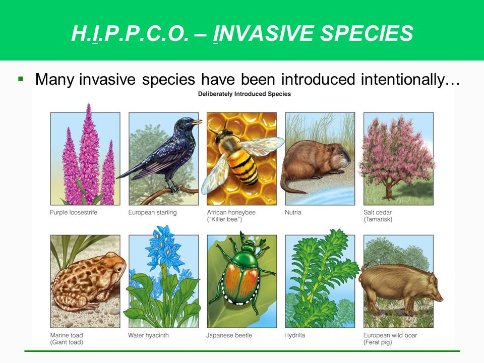 H.I.P.P.C.O. – INVASIVE SPECIES