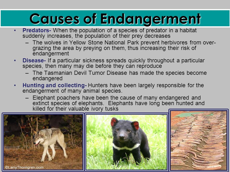 causes of endangered species essay Essay on endangered species 1072 words | 5 pages and modified, but these tend to happen at a gradual pace this allows most species to adapt to the changing environment, where only a slight impact may take place.