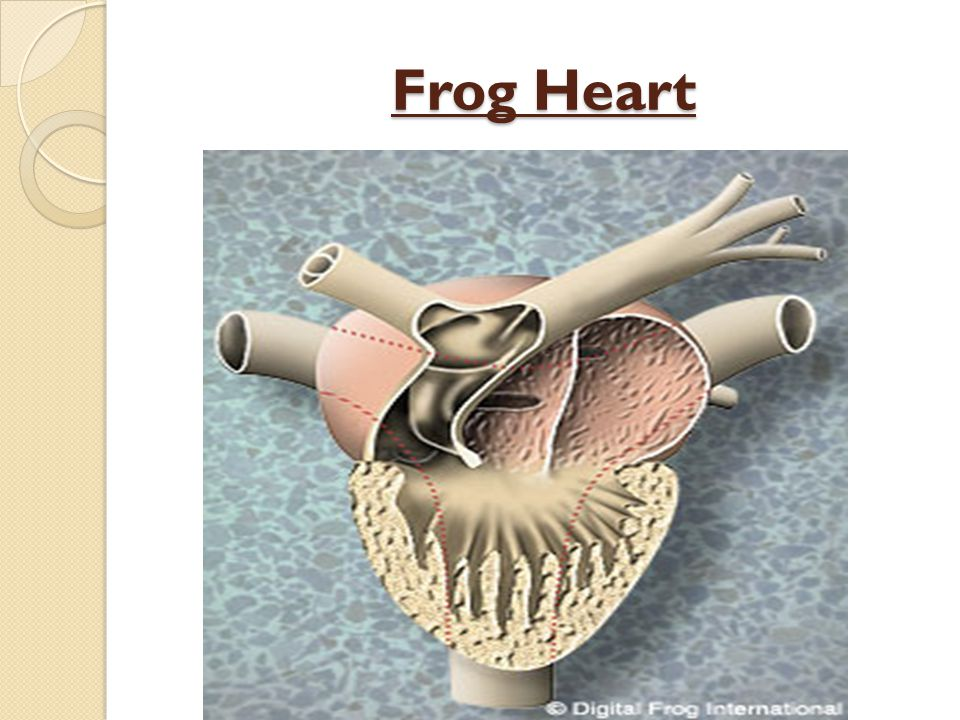 physiological properties of heart muscle frog dissection