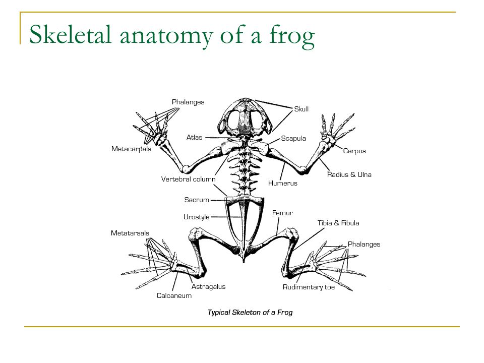 Frog bone anatomy 1050205 - follow4more.info