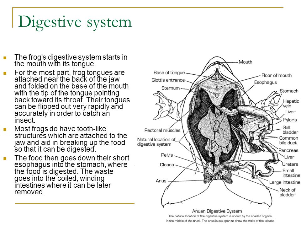 Amphibian anatomy ppt video online download 8 digestive system ccuart Images