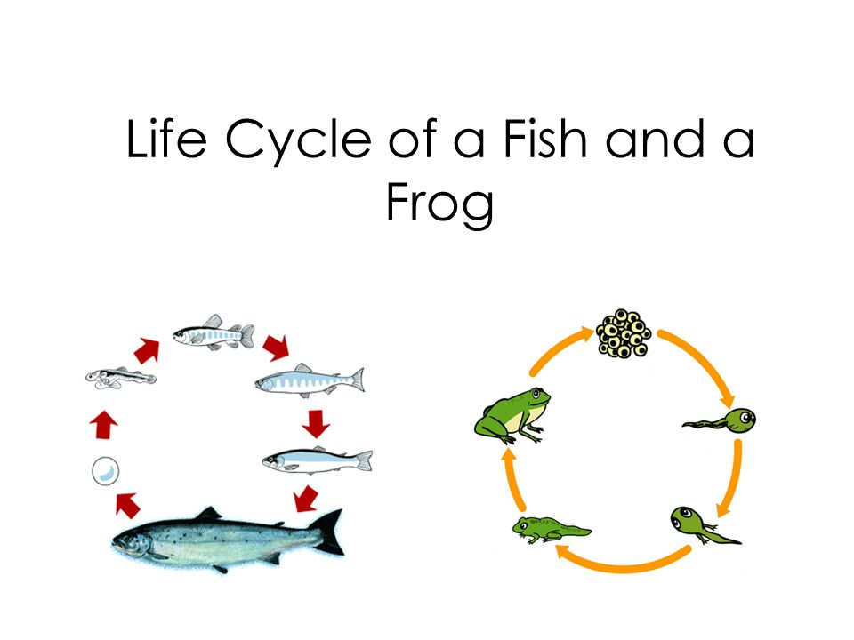 Life Cycle Of A Fish And A Frog Ppt Video Online Download