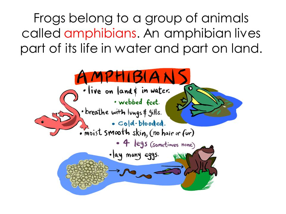 Frogs belong to a group of animals called amphibians