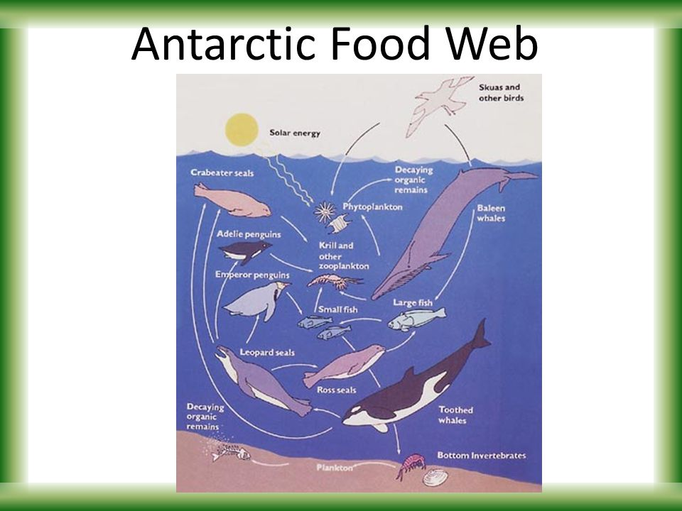 Food chains webs introduction to energy flow ppt for Antarctic cuisine