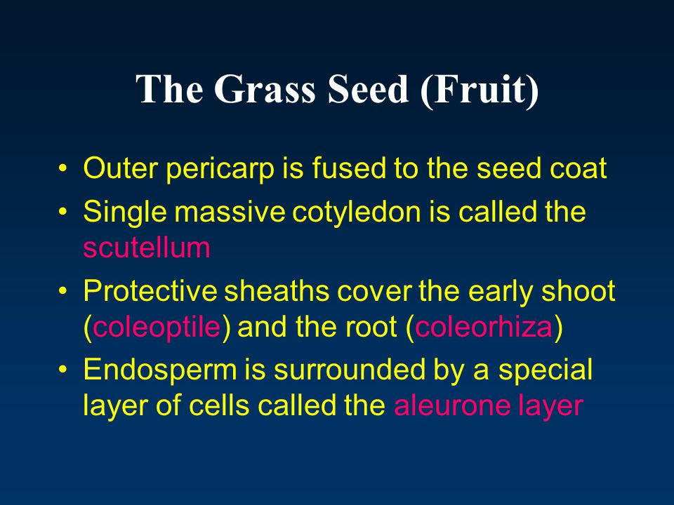The Grass Seed (Fruit) Outer pericarp is fused to the seed coat
