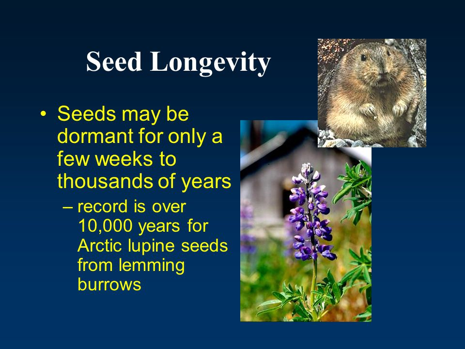 Seed Longevity Seeds may be dormant for only a few weeks to thousands of years.