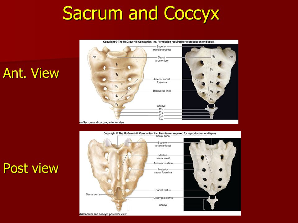 Sacrum and Coccyx Ant. View Post view