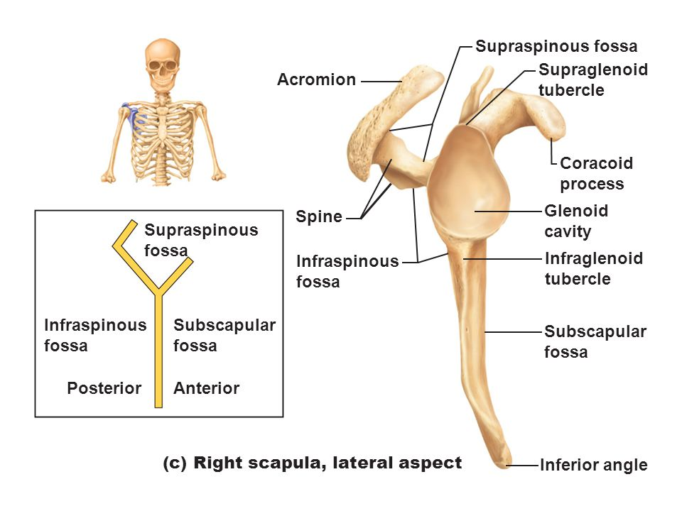 bones of the appendicular skeleton - ppt video online download, Cephalic Vein