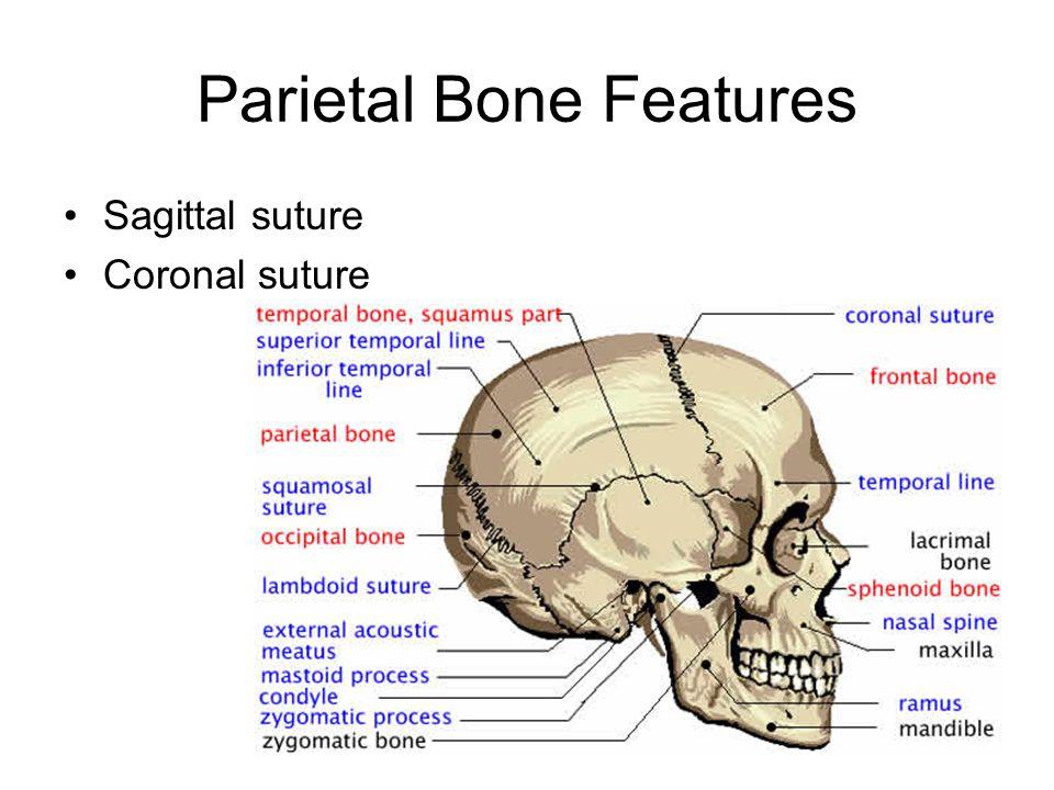 Parietal Bone Function Giftsforsubs