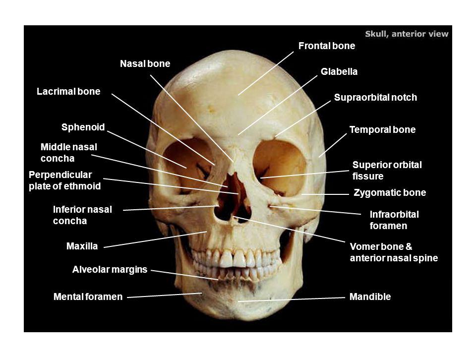 frontal bone nasal bone glabella lacrimal bone supraorbital notch, Human body