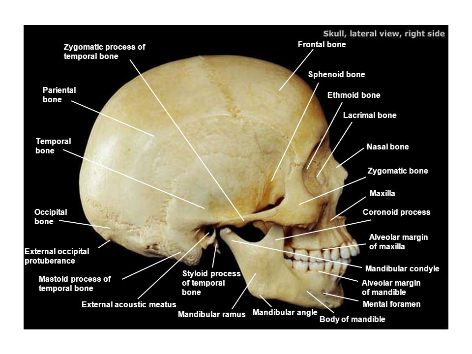 Zygomatic process of temporal bone