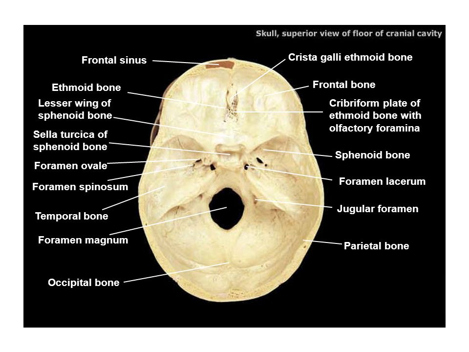sphenoid bone foramen – citybeauty, Human body