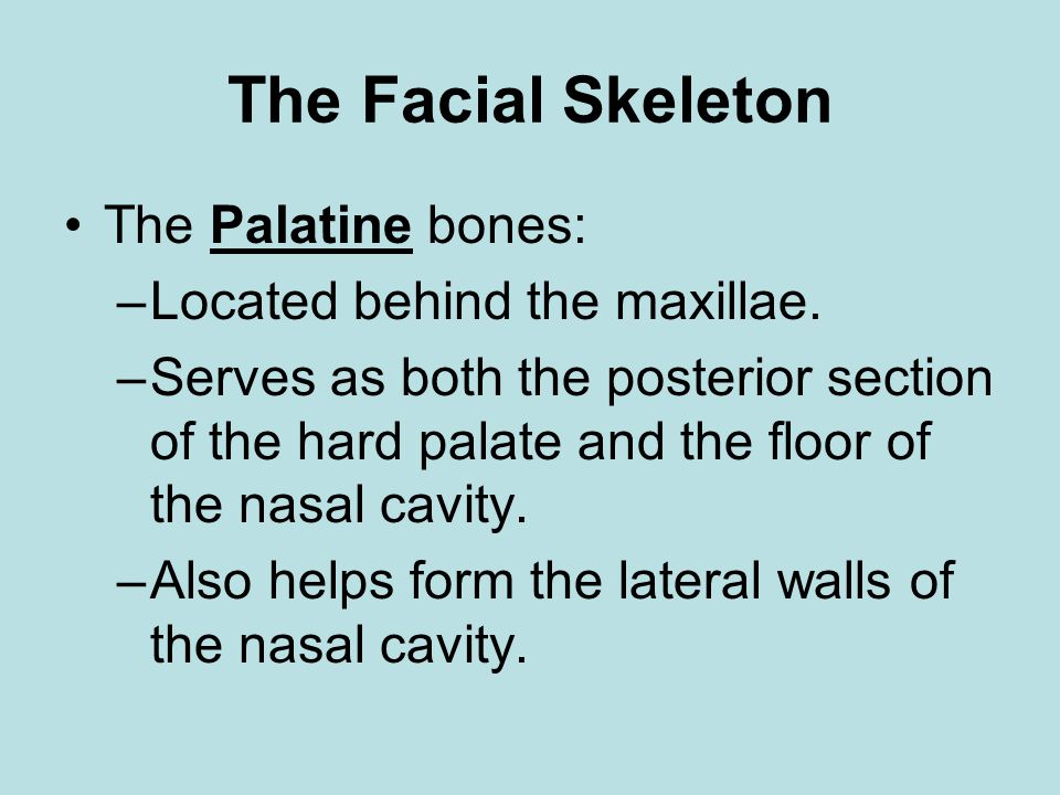 The Facial Skeleton The Palatine bones: Located behind the maxillae.
