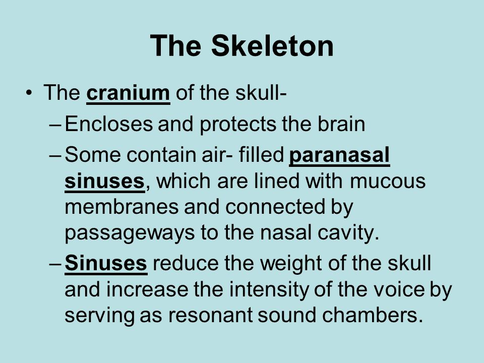 The Skeleton The cranium of the skull- Encloses and protects the brain